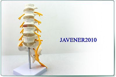 1:1 Human Anatomical Lumbar Vertebra Medical Model Sciatic Nerve Flexible some nerve