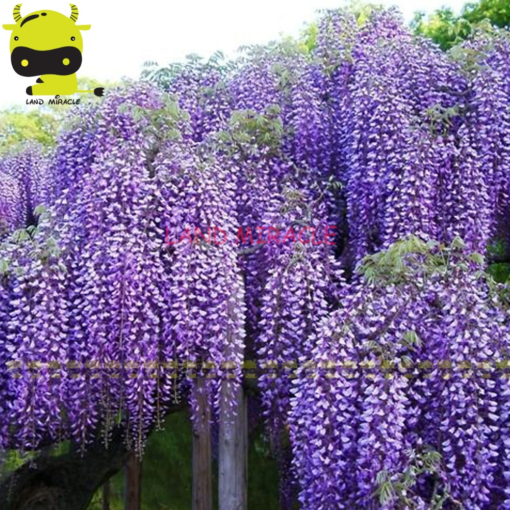 Outdoor ornamental plants - 14 Types Giant Japanese Wisteria Flower Tree Seed 10 Seeds Pack Outdoor Climbing Hanging Bonsai Ornamental Plants