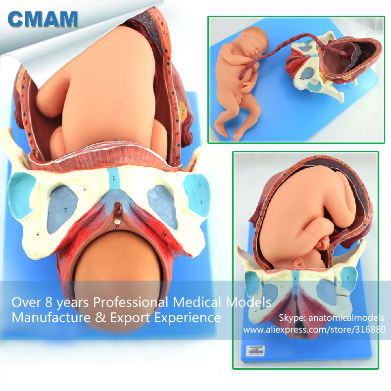 12470 CMAM-ANATOMY32 Human Childbirth Delivery Procedure Anatomy Model Consists of Uterus, Fetus, Placenta cmam viscera01 human anatomy stomach associated of the upper abdomen model in 6 parts