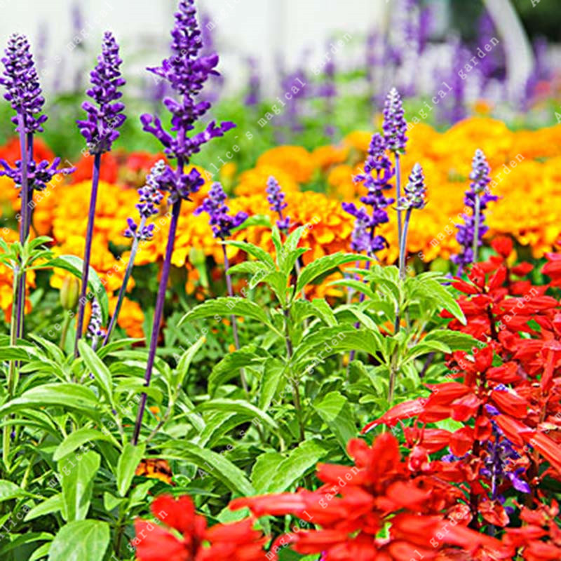 Garden Supplies Garden Pots & Planters Zlking 200 Pcs/bag Wild Sage Salvia Officinalis Original Herb Diy Home Gardening Planting