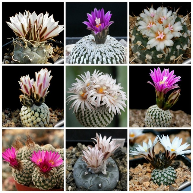 20 unids/bolsa cactus de bolas, Turbinicarpus mezcla de plantas suculentas bonsái DIY jardín casero envío gratis
