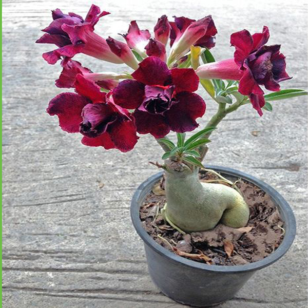 Pink petals Desert Rose Seeds 100% true seed of beautiful bonsai potted flowers balcony Desert Rose seed 1PCS