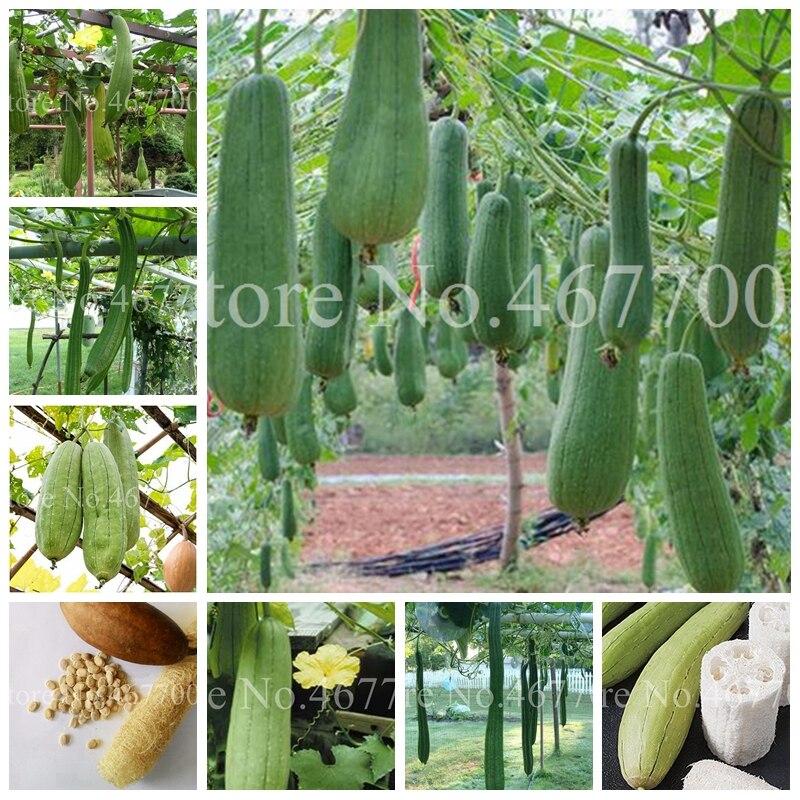 50 Pcs/ Bag Rare Tasty Loofah Delicious Organic Bonsai Outdoor Perennial Sponge Gourd Potted Vegetable Plant For Garden Decor