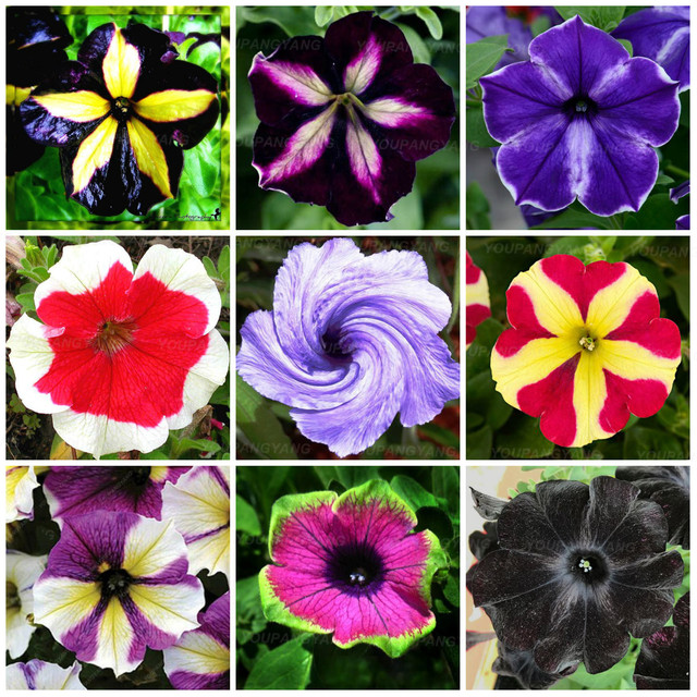 100pcs rare beautiful petunia flower plants 24 kinds of petunia flower can choose bonsai tree plantas for garden decoration