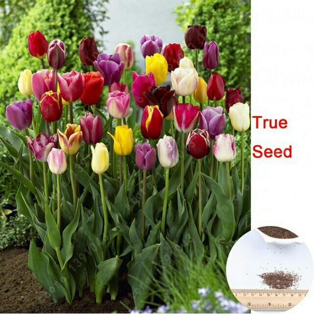 tulipán semillas, gesneriana, plantas en macetas, temporadas de