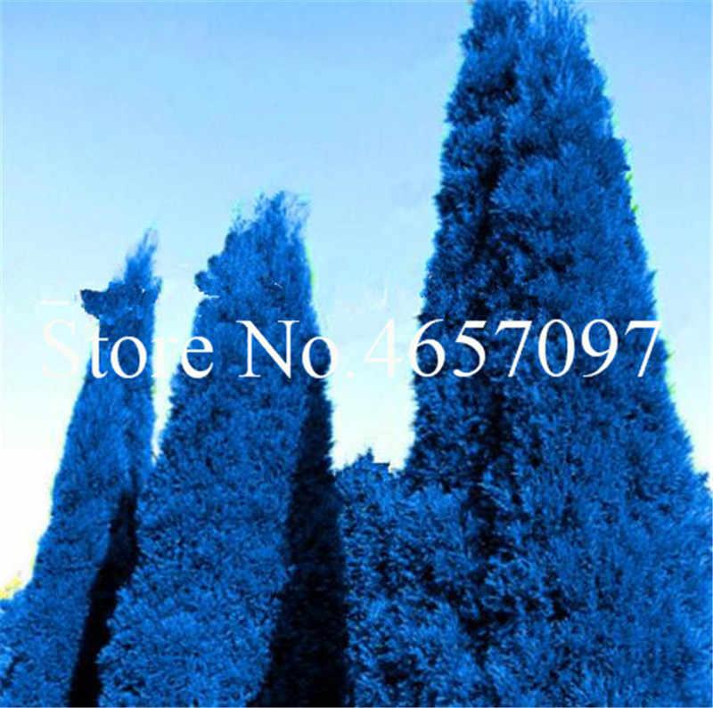 50 шт. голубой кипарисовый бонсай деревья растения платикладус ориенталис восточные арборвитаи растения хвойные растения DIY домашний садовый декор