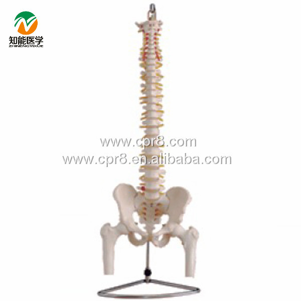 BIX-A1013 Life-size Vertebral Column With Pelvis And Half Leg Bones Model WBW294 bix a1009 life size vertebral column spine with pelvis model