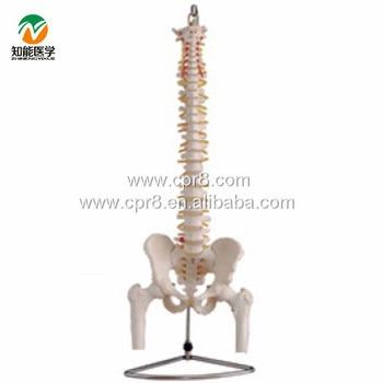 BIX-A1013 Life-size Vertebral Column With Pelvis And Half Leg Bones Model WBW294