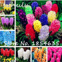 Hot Sale 100 Pcs Hyacinthus Orientalis seeds,Free shipping cheap perfume Hyacinth seeds, Beautiful flowers bonsai sent gift