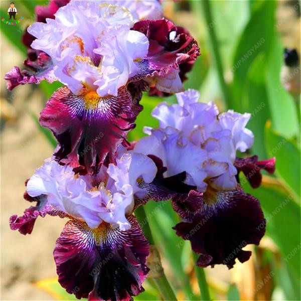 100Pcs/bag Rare Mixed Iris bonsai orchids indoor plants Beautiful Home Garden Planting Bonsai Flowers Semillas