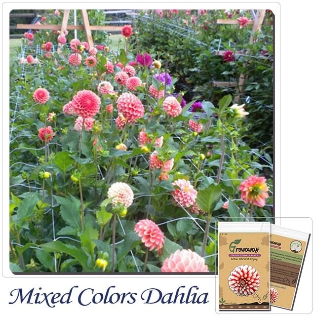 Bonsai Flower Seeds 100 Dahlia Dinnerplate Dinner Plate Mixed Colors Garden Flowers