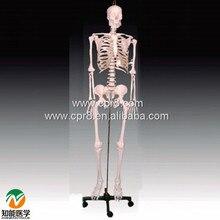 BIX-A1002 Human Skeleton Model(84cm) WBW391