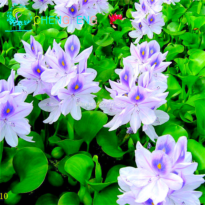 Online Buy Wholesale Water Hyacinth From China Water