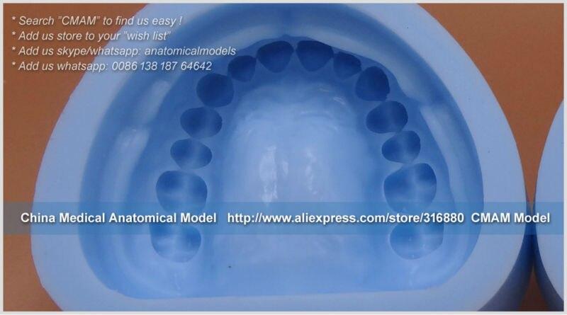 23303 Dental Permanent Teeth Plaster Model Mold 11