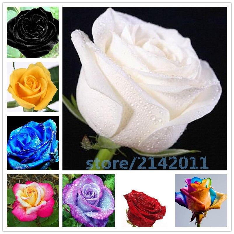 e3c7cbb55 100 قطعة/الحقيبة روز زهرة بونساي ، الأحمر الأزرق أبيض أسود روز الطبيعية نمو  النباتات للمنزل حديقة