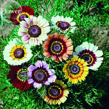 Heirloom Tricolor chrysanthemum Rainbow Colors, 20 mixed seeds, pyrenthrum painted daisy chrysanthemum carinatum flower E3879