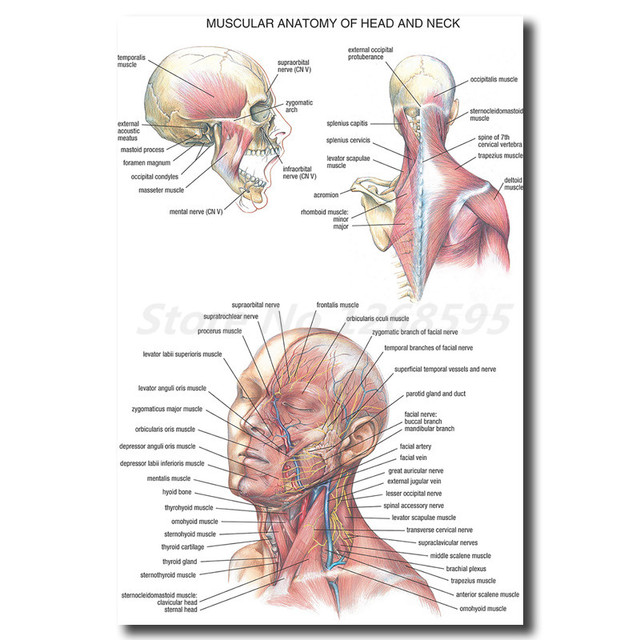 Human Anatomy Head And Neck Wall Art Canvas Posters Prints Painting