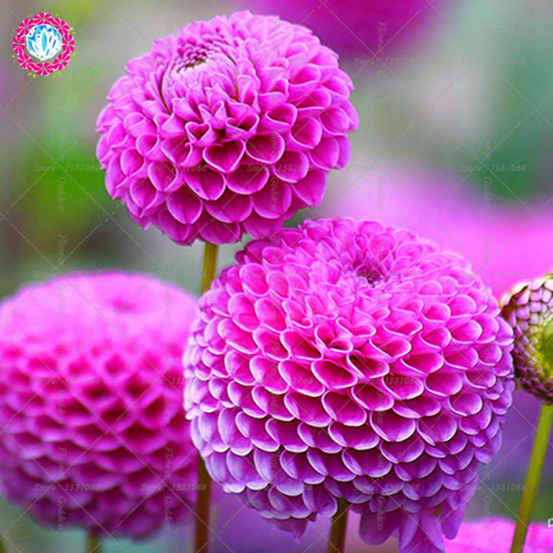 50pcs Dahlia pinnata Flower Bonsai Seeds Easy Cultivating Perennial Blooming Plants For Home Garden balcony Courtyard Indoor Out