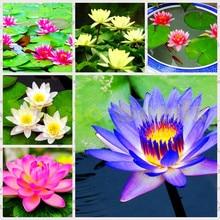 10 seeds/pack rainbow lotus seeds,Aquatic plants flower seed bowl lotus, Water Lilies lotus seeds, 100% genuine seeds