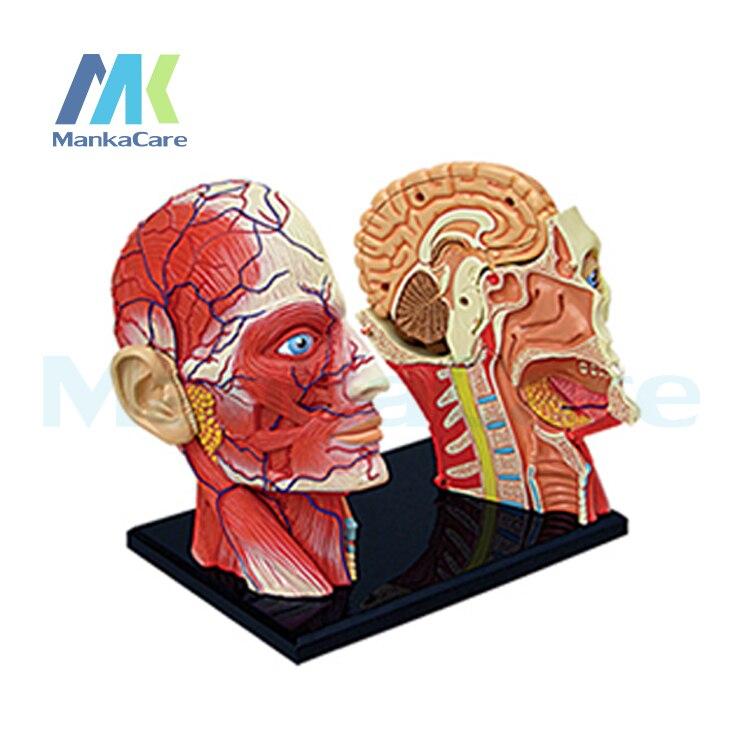 4D maestro médico Cuerpo Humano esqueleto modelo anatómico anatomía ...