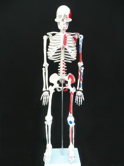 85 cm medio tamaño de la vida Anatomía Humana esqueleto con el ...