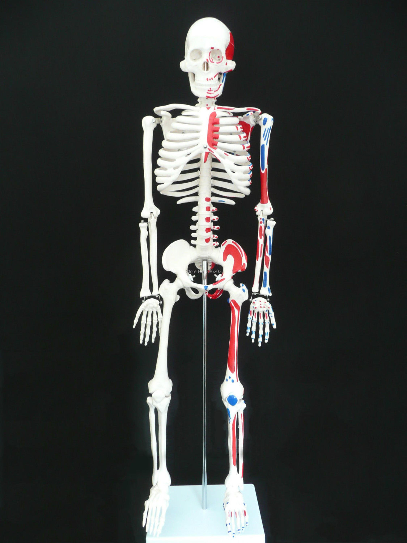 Esqueleto humano con músculo inserción y origen en trauma anatomía ...