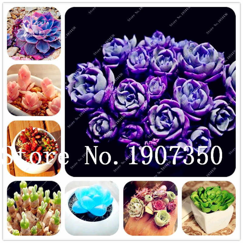 200pcs mini blue succlent rare rabbit living lithops flower early spring bonsai for home garden supplies planting Purify the Air