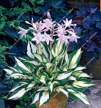 Цветы многолетники хоста