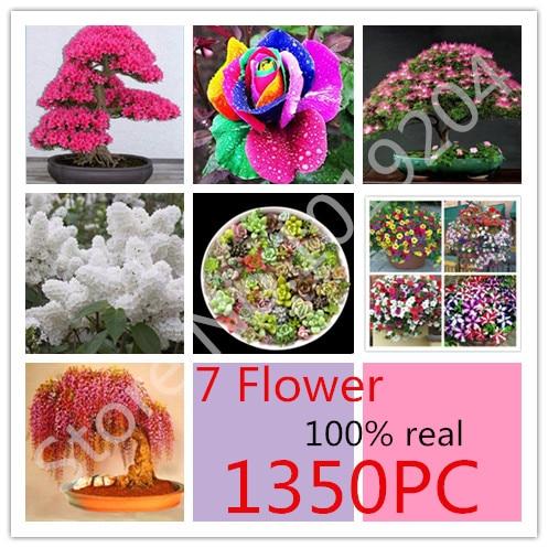 Graines de fleurs Rares Bonsaï Fleur Sakura, Rose Succulent Pétunia, aster,  Albizia Graines