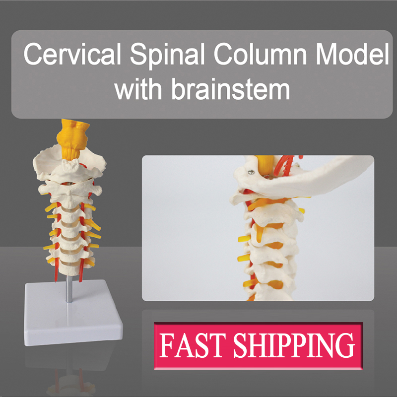 Great value human Full size education Cervical Spinal Column Model with brainstem lego education 9689 простые механизмы