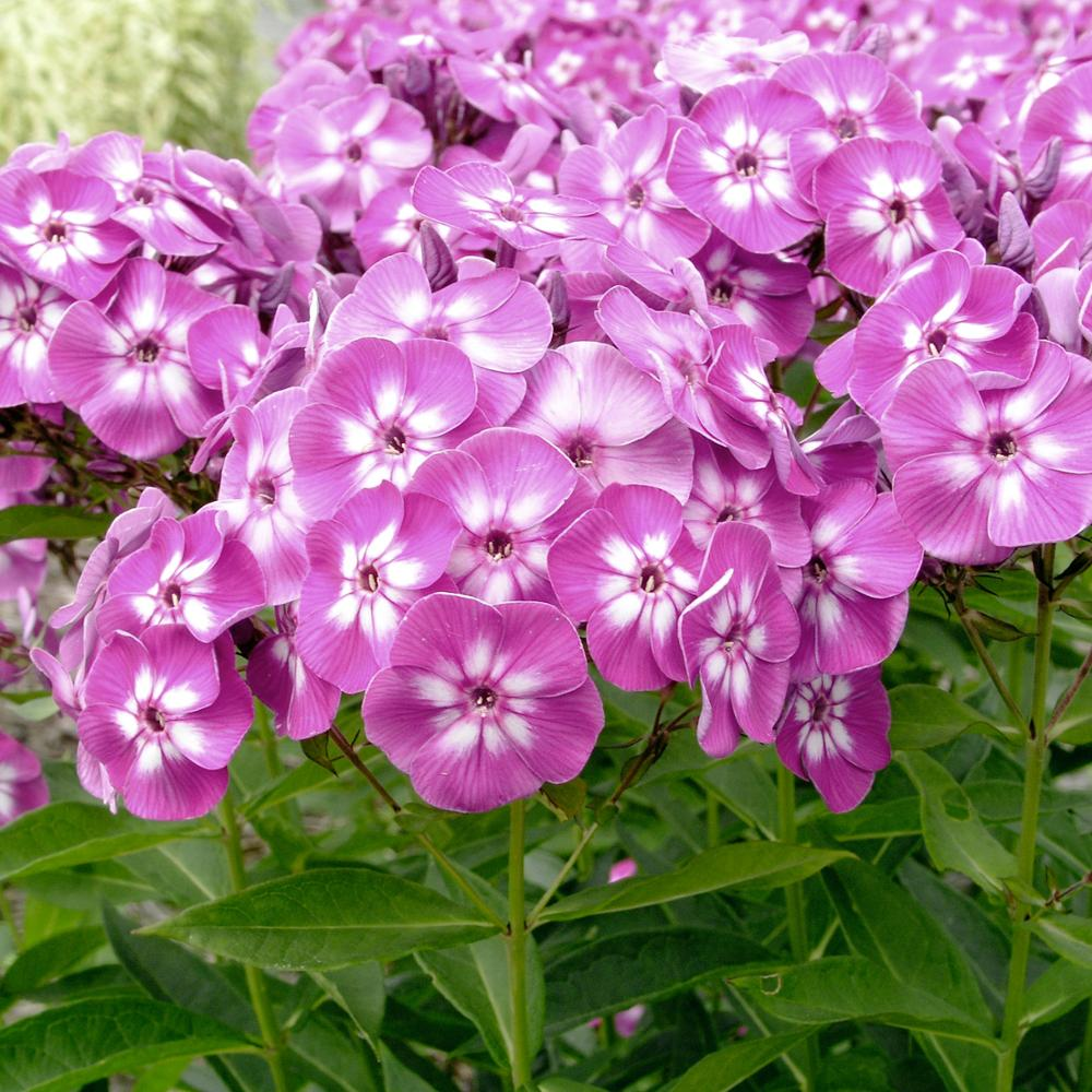 New Arrival Home Garden Plants 100 Seeds Outdoor Perennial Phlox