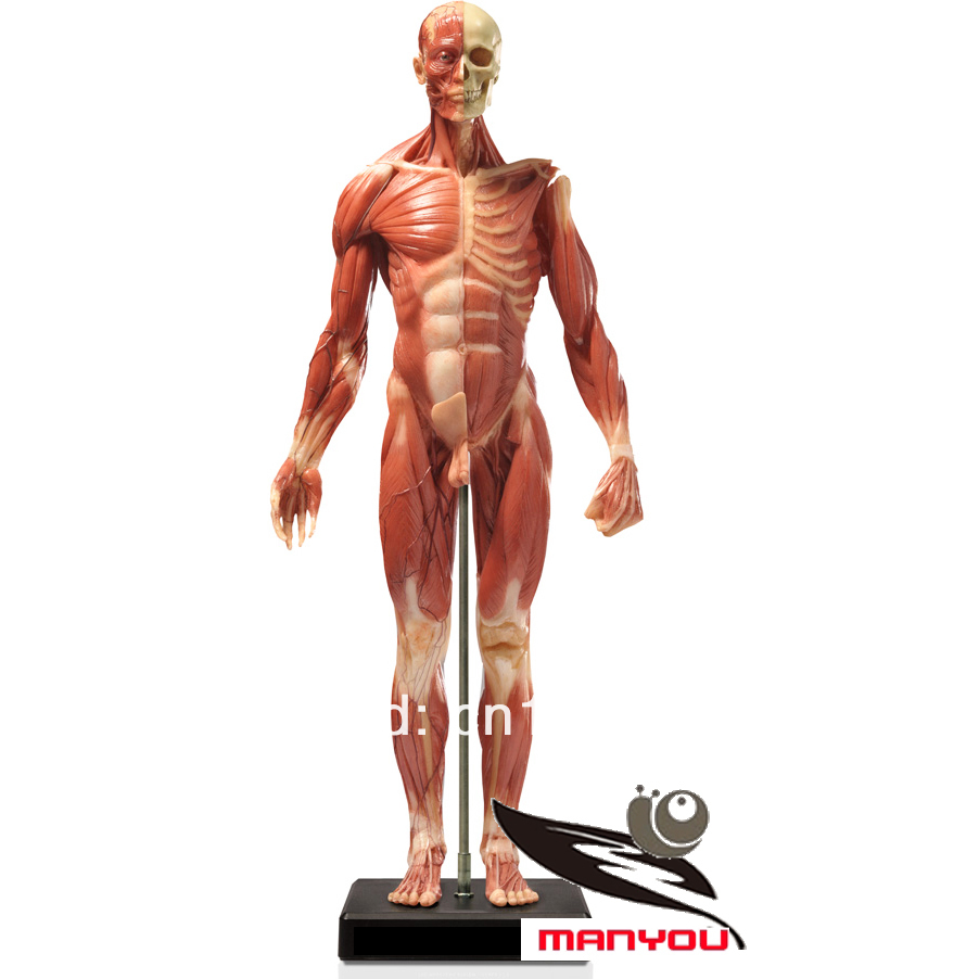 aliexpress : buy 60cm human 1:3 anatomy muscle model for male, Muscles