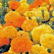 цена на 100 pcs/bag African marigold flower seeds  for Home Garden Bonsai Plant