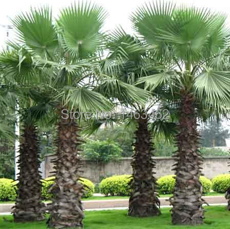 20pcs / bag palm seeds, DIY home garden decoration Plants tree seed free shipping