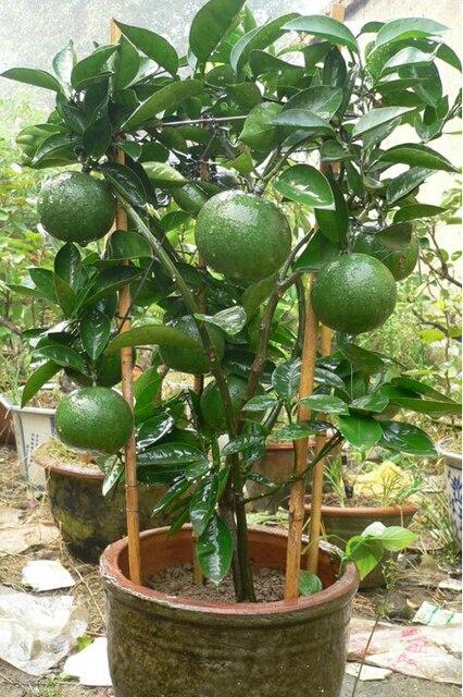 30 pcs bag green lemon tree organic fruit seeds bonsai for Can i grow a lemon tree from lemon seeds