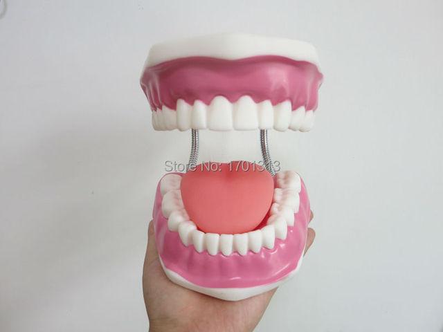 Alta Qualidade 6 vezes grande modelo teeth dental modelo decoração Clínica Especial personalizado Figuras decorativas