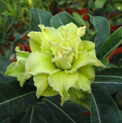 Green Desert Rose Flowers Seed Perennial DIY Outdoor And Indoor Home Garden Bonsai Pot Cute Adenium Obesum Plant Seeds 1PCS