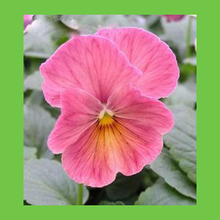 Buy pink pansy and get free shipping on aliexpress mxluodx varieties pansy perennial plant seeds 120pcs mightylinksfo Choice Image
