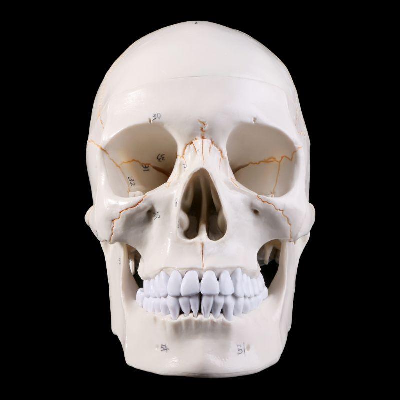 Tête de squelette d'enseignement médical d'anatomie anatomique modèle de crâne humain taille réelle étudiant des fournitures d'enseignement