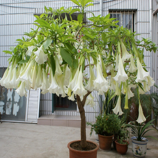 White Datura flower seeds DWARF Brugmansia suaveolens Flamenco angel's Trumpets bonsai seed for home garden - 200 pcs / lot