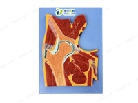 Hip sectional anatomy model Human tomography hip joint model