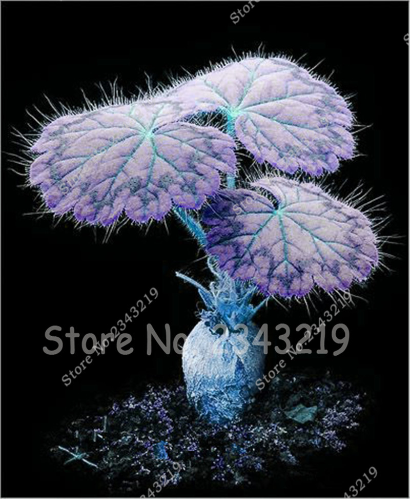 Promotion! Rare Blue Geraniums Semillas De Plantas Raras Pelargonium Perennial Flowers Garden Bonsai Geranium Seeds 10pcs a bag