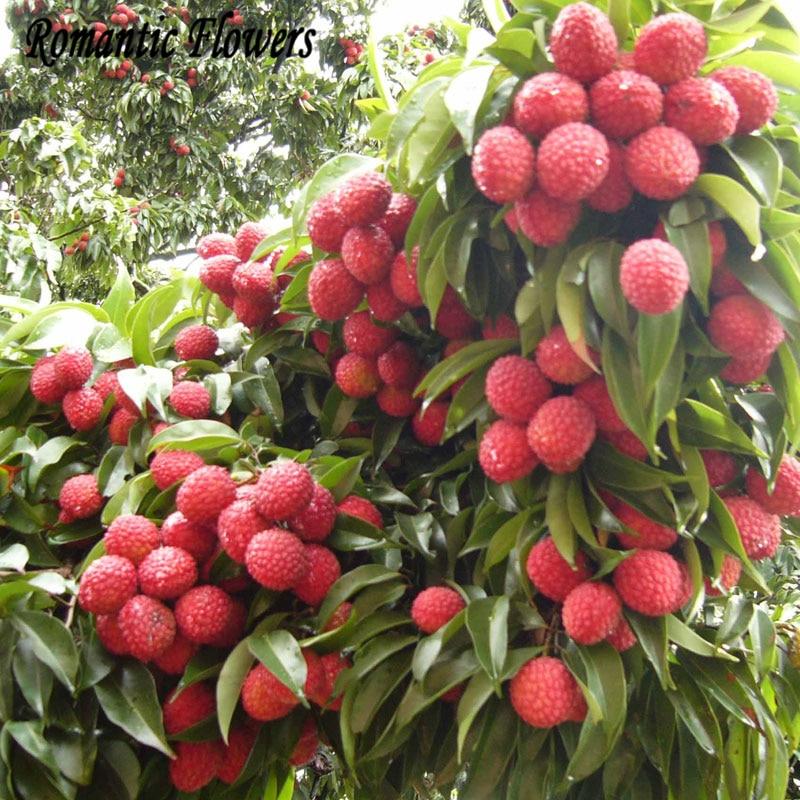 Online Buy Wholesale fresh lychee fruit from China fresh ... Leeches Fruit Tree