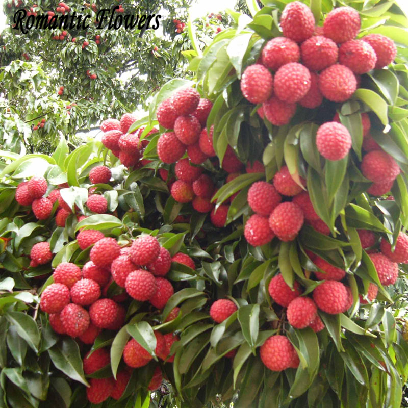 aliexpress  buy fresh lychee lychy litchi seeds, leechee, Natural flower