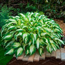 100pcs Hosta Seeds Perennials Plantain Lily Flower White Lace Home Garden Ground Cover Plant Home Garden Ground Cover Plant Seed