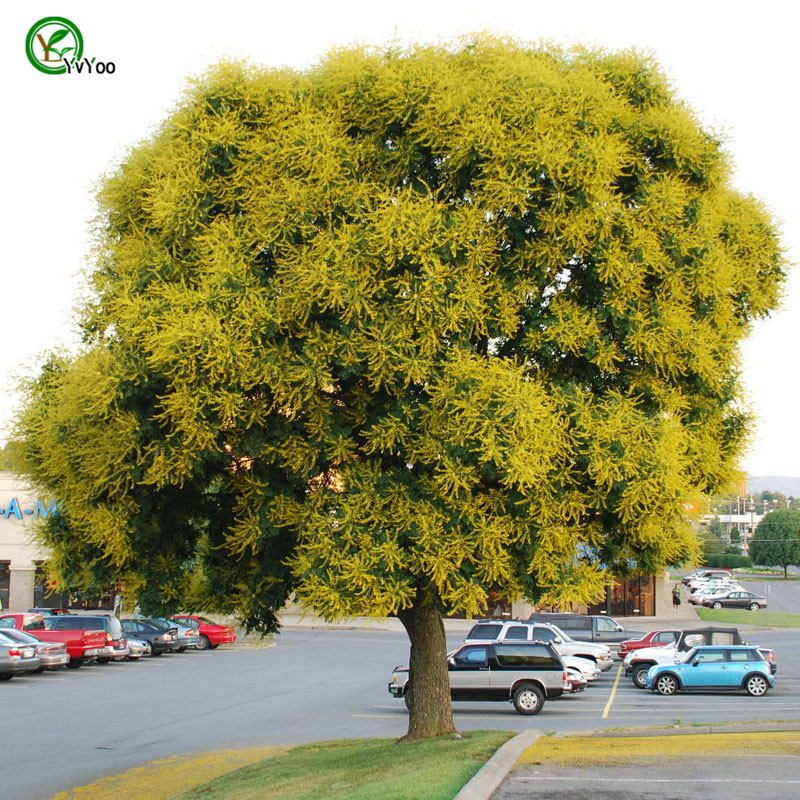 Compare Prices on Golden Rain Tree Online ShoppingBuy Low Price