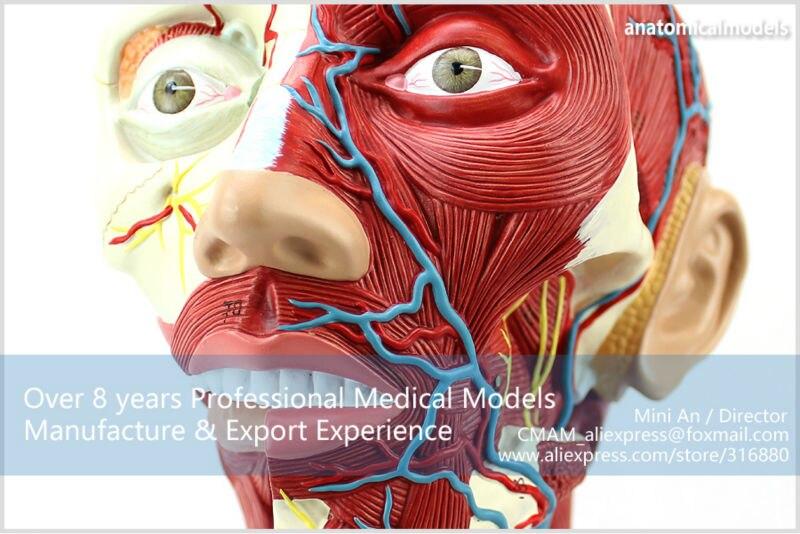 Cmam12310 Muscle Head Brain 3 Parts Plastic Human Body Muscle