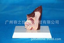 Dog Ear Anatomical Model Animal Veterinary Science Medical Teaching Aids Dog Ear Healthy Pathology Anatomical Model Canine Model(China)