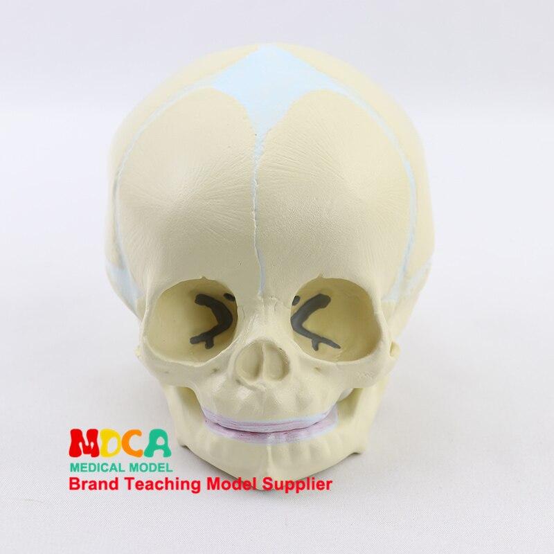 Fetal Skull Model Infant Skull Bone Human.skull Model Medical MTG002