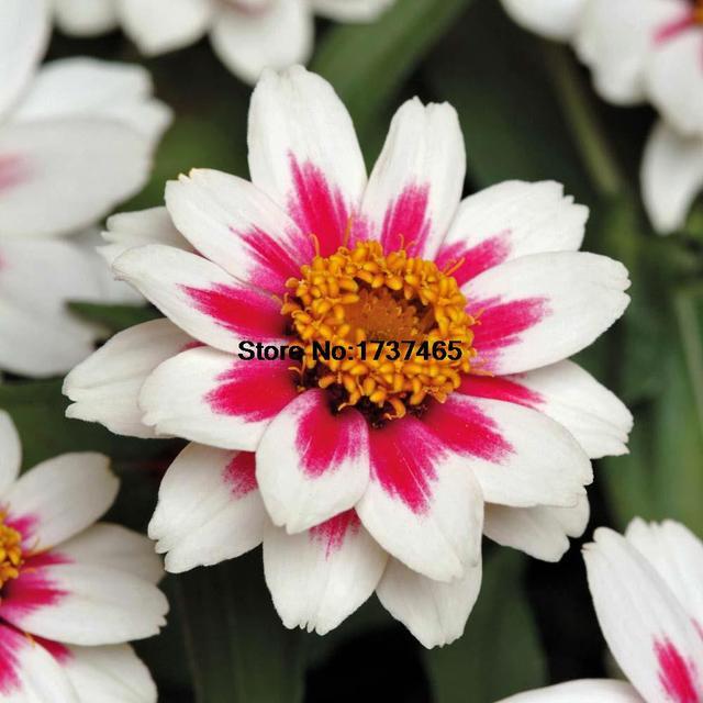 Semi di fiori rari, 50 pz/borsa Zinnia marylandica 'Zahara 'bella fiore pianta bonsai giardino di casa di trasporto libero